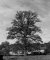&copy; Roger Choplain, Roland Maston, Région Auvergne - Inventaire général du Patrimoine culturel, ADAGP - Arlanc. Généralités<br /> Chêne du village de l'Olme.<br />