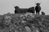 © Roger Choplain, Roland Maston, Région Auvergne - Inventaire général du Patrimoine culturel, ADAGP - PAILHEROLS La Montagne de Valduchez FROMAGERIE dite Buron Vaches de Salers.